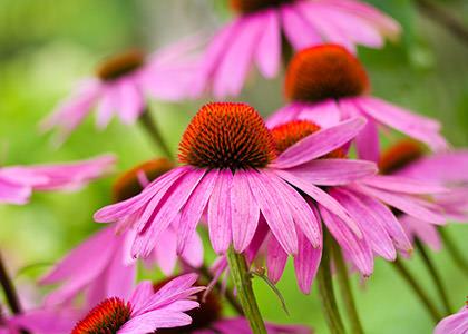 Le piante invernali parte uno: Echinacea